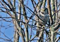 Northern Hawk Owl CM11-035