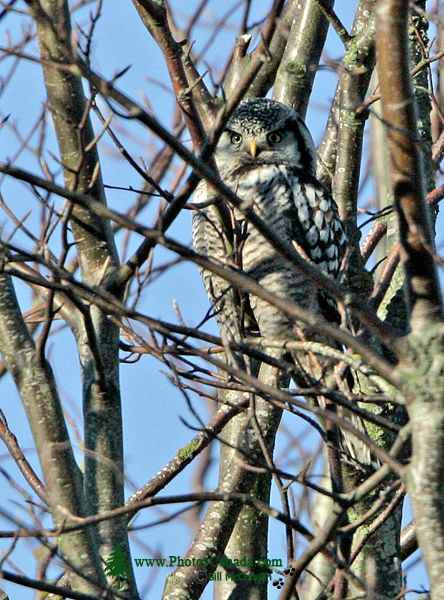 Northern Hawk Owl CM11-034