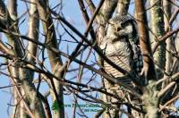 Highlight for Album: Northern Hawk Owl, Delta, British Columbia, Canada - Canadian Wildlife Stock Photos