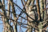 Northern Hawk Owl CM11-033