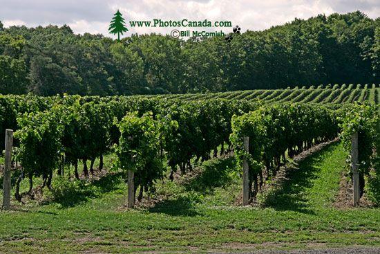 Ontario Wine Region, Southern Ontario, Canada CM-1202