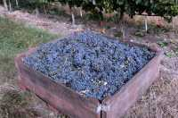 Osoyoos, Grape Harvesting, British Columbia CM11-06