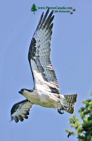 Osprey, West Coast of British Columbia, Canada CM11-001