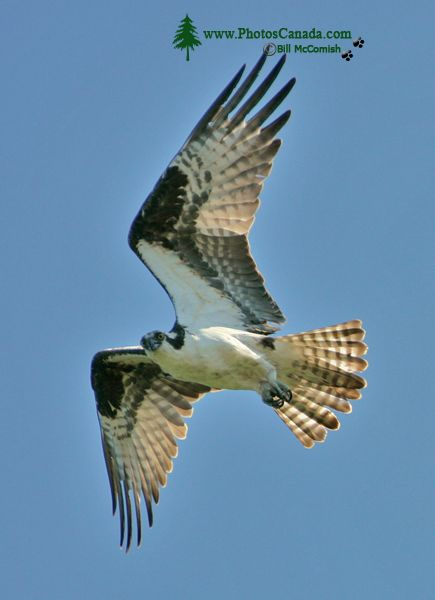 Osprey, West Coast of British Columbia, Canada CM11-002