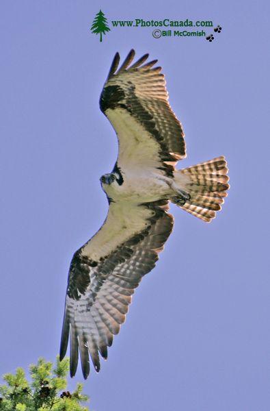Osprey, West Coast of British Columbia, Canada CM11-003