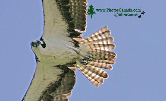 Osprey, West Coast of British Columbia, Canada CM11-004