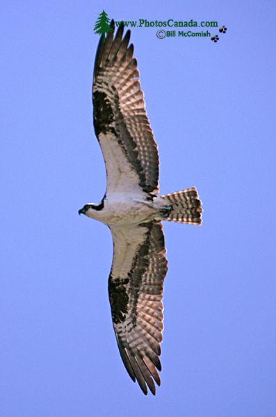 Osprey, West Coast of British Columbia, Canada CM11-006