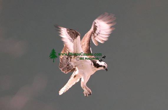 Osprey, British Columbia, Canada CM11-05