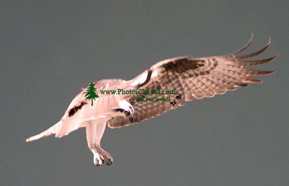 Osprey, British Columbia, Canada CM11-04