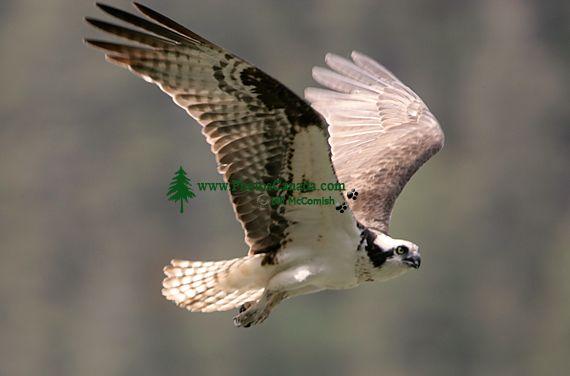 Osprey, British Columbia, Canada CM11-01