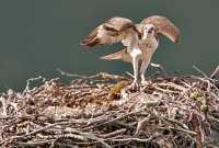 Osprey Family, British Columbia, Canada CM11-21