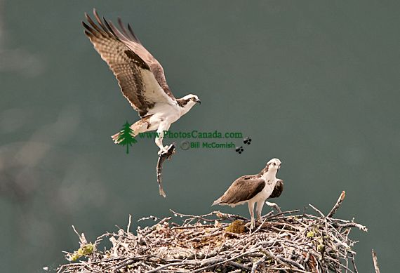Osprey with Fish, British Columbia, Canada CM11-08