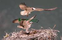 Highlight for Album: Osprey Family Photos, British Columbia, Canadian Wildlife Stock Photos