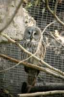 Barred Owl, Calgary Zoo, Alberta CM11-03