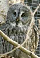 Barred Owl, Calgary Zoo, Alberta CM11-04