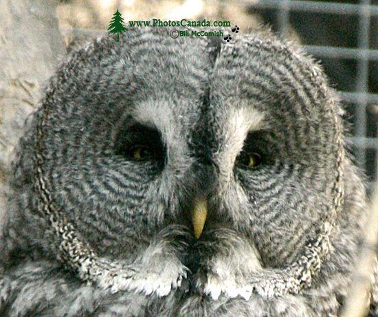 Barred Owl, Calgary Zoo, Alberta CM11-05
