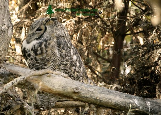 Great Horned Owl, Calgary Zoo, Alberta CM11-02