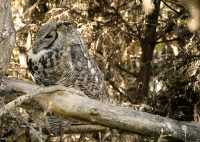 Great Horned Owl, Calgary Zoo, Alberta CM11-02