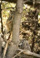 Great Horned Owls, Calgary Zoo, Alberta CM11-01