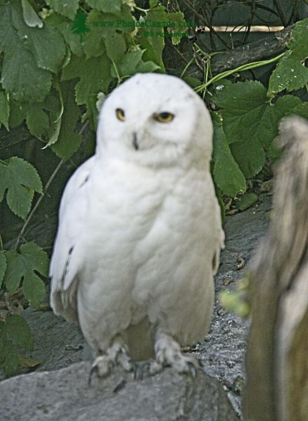Snowy White Owl, Calgary Zoo, Alberta CM11-08