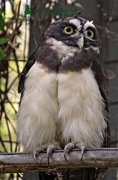 Spectacled Owl, Calgary Zoo, Alberta CM11-09