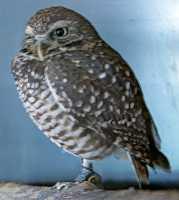 Spotted Owl, Calgary Zoo, Alberta CM11-06