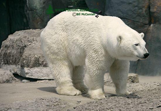 Polar Bears, Toronto Zoo, May 2010 CM11-005
