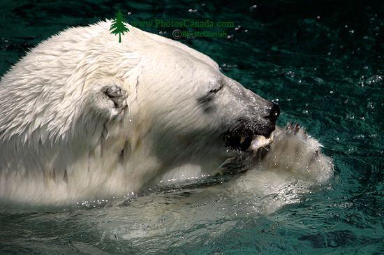 Polar Bears, Toronto Zoo, May 2010 CM11-006