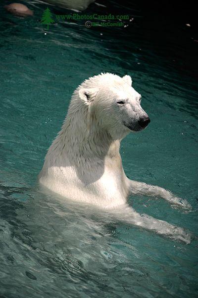 Polar Bears, Toronto Zoo, May 2010 CM11-009