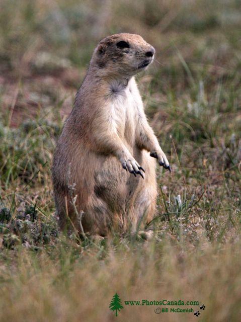 Black Tail Prairie Dog, Grasslands National Park, Saskatchewan, Canada CMX-002