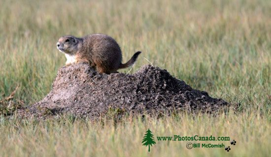 Black Tail Prairie Dog, Grasslands National Park, Saskatchewan, Canada CMX-003