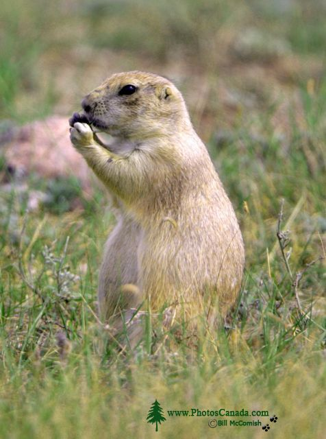 Black Tail Prairie Dog, Grasslands National Park, Saskatchewan, Canada CMX-004