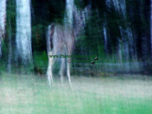 Ghost Elk, Prince Albert National Park, Saskatchewan, Canada 08