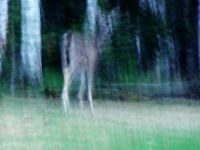 Ghost Elk, Prince Albert National Park, Saskatchewan, Canada 08