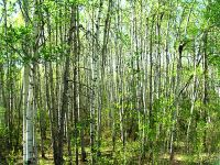 Boreal Forest, Prince Albert National Park, Saskatchewan, Canada   03