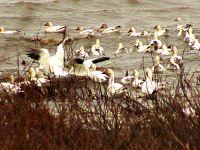 Snow Geese Migration, Quebec City area, Quebec, Canada 26