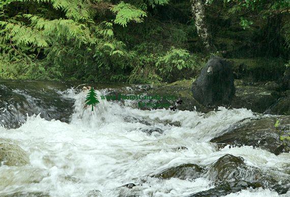 Black Bear Fishing, Haida Gwaii, British Columbia, Canada CM11-06