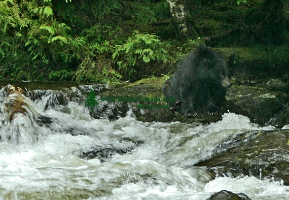 Black Bear Fishing, Haida Gwaii, British Columbia, Canada CM11-05