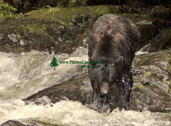 Black Bear Fishing, Haida Gwaii, British Columbia, Canada CM11-04