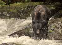 Black Bear Fishing, Haida Gwaii, British Columbia, Canada CM11-04