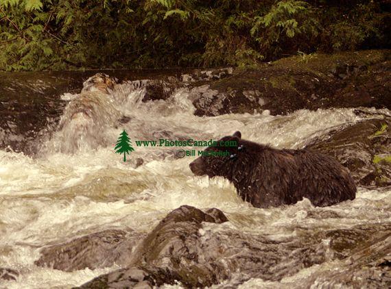 Black Bear Fishing, Haida Gwaii, British Columbia, Canada CM11-03