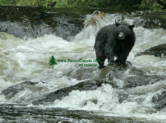 Black Bear Fishing, Haida Gwaii, British Columbia, Canada CM11-02