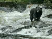 Black Bear Fishing, Haida Gwaii, British Columbia, Canada CM11-02