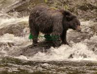 Highlight for Album: Black Bear Fishing Photo, Queen Charlotte Islands, Haida Gwaii Photos, British Columbia , Canadian Wildlife Stock Photos