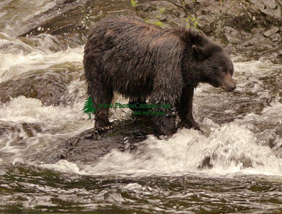 Black Bear Fishing, Haida Gwaii, British Columbia, Canada CM11-01