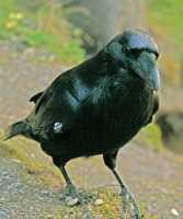 Raven CM11-11