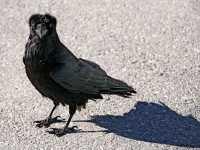 Raven CM11-13