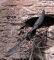 Raven Nest CM11-05