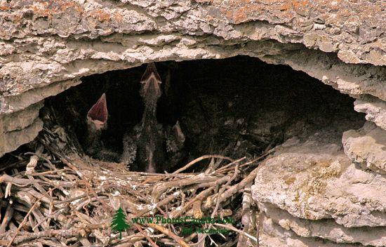 Raven Chicks CM11-09