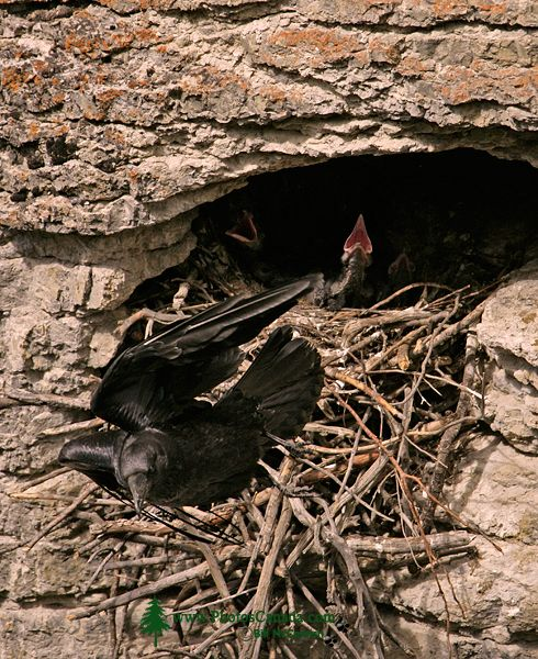 Raven and Chicks CM11-01